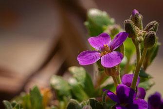 Blaukissen ♥ Blüten und Knospen der Polsterstaude