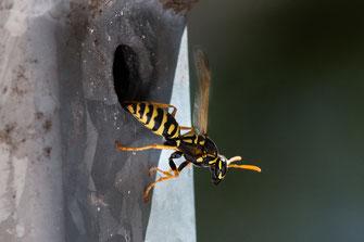 Feldwespe kommt aus ihrem Nest aus der Balkonbrüstung