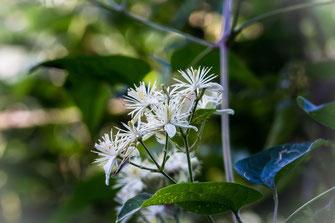 Wilde Clematis-Waldrebe im August-Blüten