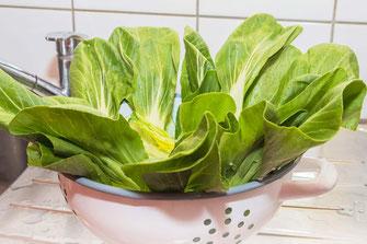 Pak Choi gewaschen im Abtropfsieb-Foodfotos downloaden bei mjpics.de