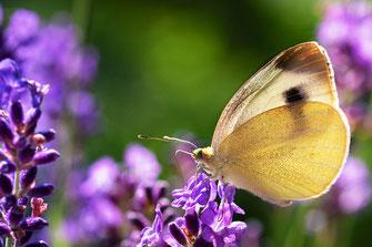 Kohlweißling mit geöffneten Flügeln ruht auf Lavendel