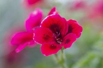 Pelargonie mit Blütenstempel