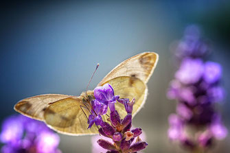 Kohlweißling saugt Nektar  an Lavendel