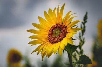 Sonnenblume leuchtet vor grauem Himmel