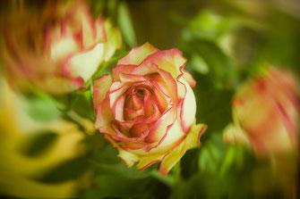 rosen-weiss-rosa-bildbearbeitung