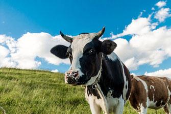 Neugierige Kuh auf der Weide