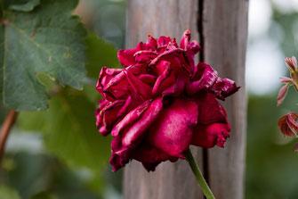 Rot blühende Rose im Weinberg kurz vorm verblühen und trotzdem noch schöm