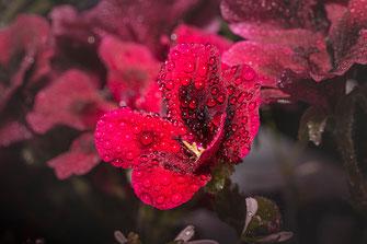 Rote Pelargonie mit Regentropfen-Macro