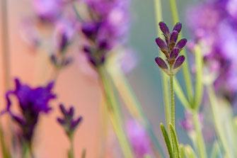 Lavendelblüte mit Bokeh