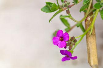 Blaukissen-Blüten Makro-© Jutta M. Jenning ♦ www.mjpics.de