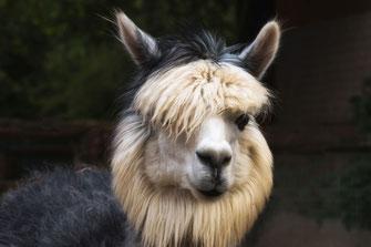 alpaka-kamel-portait-II-tiere