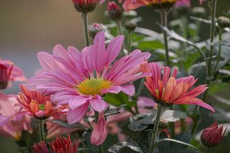 Chrysanthemen rosa und lachsfarben © Jutta M. Jenning ♦ mjpics.de