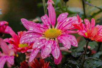 Chrysanthemen rosa mit Regentropfen © Jutta M. Jenning ♦ www.mjpics.de