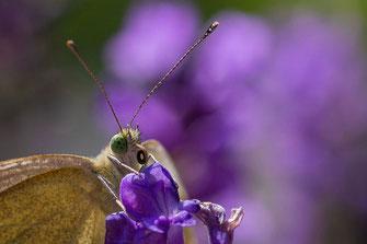 Kohlweißling mit eingefahrenem Saugrüssel auf Lavendel