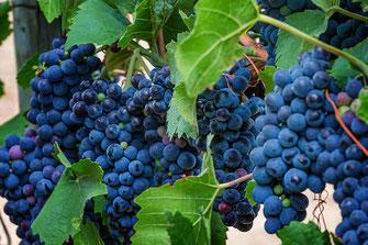 Blaue Weintrauben an den Rebstöcken