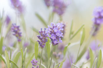 Zarter Lavendel