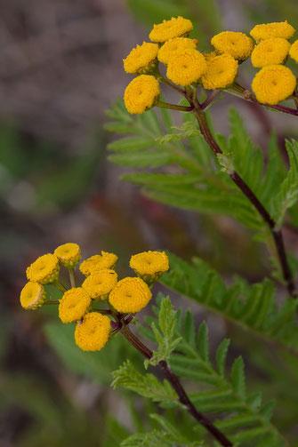 Rainfarn-Wurmkraut-hochkant-Wildblumenfotos kostenlos und lizensfrei downloaden