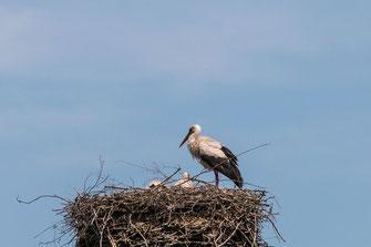 weiss-storchen-nest-stoerche-III