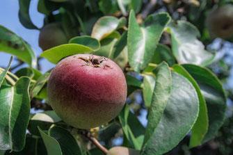 Knackiger Apfel am Baum
