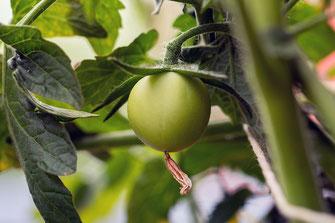 Erste Tomate am Strauch-noch grün