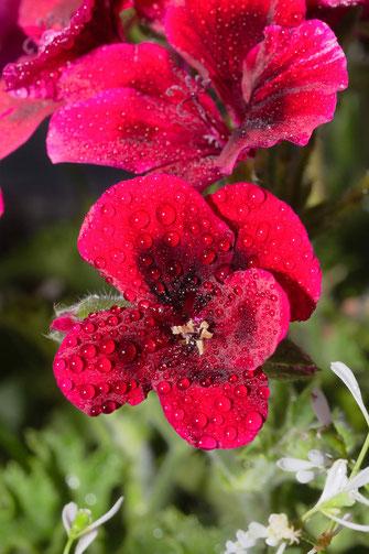 Rote Pelargonien mit Regentropfen-Macro