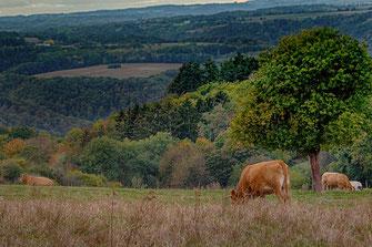 Limousinrinder in der Eifel © Jutta M. Jenning ♦ mjpics.de