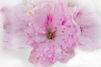 Rosafarbene Petunien mit Regentropfen