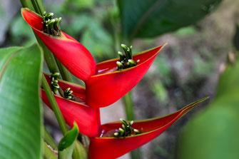 helikonie-paradiesvogelblume-bluete-rot