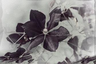 Clematis Artwork