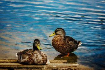 Entenpärchen am Wasser www.mjpics.de