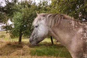 pferd-auf-der-weide-frisst-gras