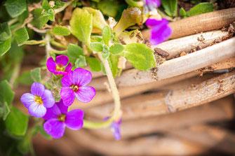 Blaukissen im Blumenkorb © Jutta M. Jenning ♦ www.mjpics.de