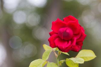 Rot blühende Freilandrose mit Bokeh