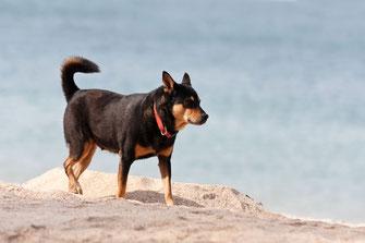 Strandhund-auf-ko-lanta