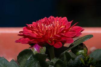 Rote Herbstaster mit Knospe - Balkonblumen