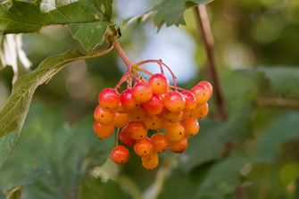 Orange-rote Beeren im August