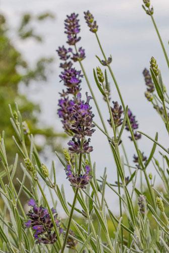 Lavendelblüten Macro hochkant
