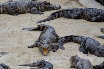 krokodil-farm-siem-reap-kambodscha-III