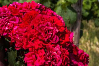 Strauchrosen rot-Busch