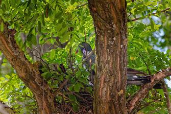 Ringeltaubenpärchen beim Nestbau in einer Robinie