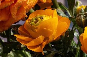 Gelb-orangefarbene Ranunkelblüte © mjpics.de