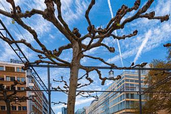 Platanen auf der Zeil in Frankfurt am Main © mjpics.de