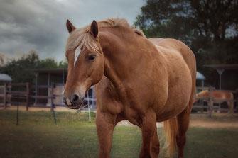 Braunes Pferd auf einem Reiterhof
