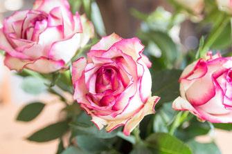 rosen-weiss-rosa