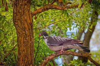 Ringeltaube sitzt vor dem Nest mit Stöckchen im Schnabel