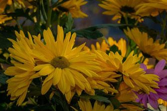 Gelbe Chrysanthemen © Jutta M. Jenning-www.mjpics.de