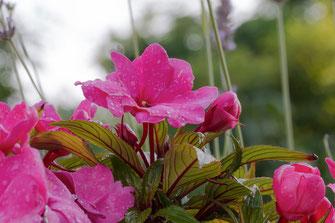 Purpurfarbene Edellieschen-Impatiens mit Rentropfen