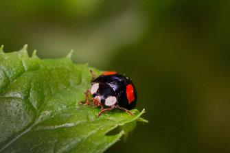 Schwarzer Zweipunkt-Marienkäfer auf Blatt makro