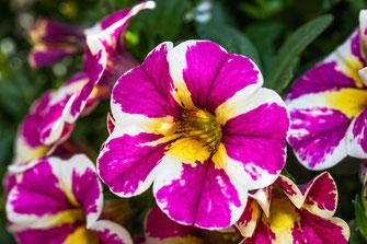 Zauberglöckchen-Minipetunien lila weiss gestreift-macro