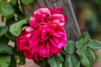 Rot blühende Freilandrose im Weinberg